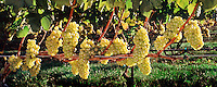 Grapes,Duck Walk Vineyards, 16x40,  inches, archival gicle&eacute; canvas edition of 12, $900