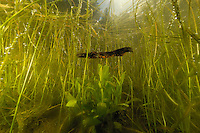 Male Great Crested Newt swimming underwater (Triturus cristatus).