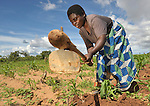 This woman is a member of a support group for people living with HIV and AIDS in Ekwendeni, Malawi, has a communal garden where they work together. The farm is a project of the Livingstonia Synod of the Church of Central Africa Presbyterian.