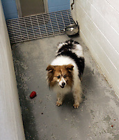 Lucky, remains in a kennel at the King County Animal Shelter in Kent, WA on October 1, 2010 while a cruelty investigation is underway charging his owners with leaving him unattended for months.  (photo © Karen Ducey 2010). .