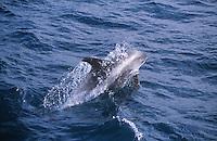 White beaked Dolphin Lagenorhynchus albirostris porpoising at speed, Spitsbergen, Arctic Norway, North Atlantic
