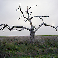A drowned live oak tree stands on the side of the road leading to Pointe Aux Chene, Louisiana. Dead trees are a sign that salt water is encroaching on the land along the coast of Louisiana where damage to coastal marshes due largely to oil and gas extraction has been accelerating the process of land erosion.