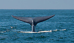 Blue whale dives off of Redondo Beach, CA