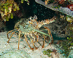 "A Caribbean spiny lobster curls its tail to protect its belly while always keeping one spiny antenna pointed directly at the passing diver (and camera).  ""Amber Head"" dive site, Turneffe Atoll, Belize."
