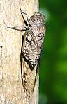 Green Eyed Cicada, Hemiptera, on tree trunk, clear wings, Belize.Belize....