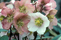 Helleborus x sternii Blackthorn Group hellebore in flower, with dark stems