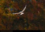 White-Tailed Kite Pointillism, Sepulveda Wildlife Refuge, Southern California
