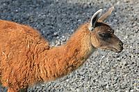 Guanaco (llama guanacoe) in the Zone Patagonie of the new Parc Zoologique de Paris or Zoo de Vincennes, (Zoological Gardens of Paris or Vincennes Zoo), which reopened April 2014, part of the Museum National d'Histoire Naturelle (National Museum of Natural History), 12th arrondissement, Paris, France. Picture by Manuel Cohen