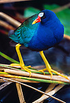 Purple gallinule perches on reeds, Everglades National Park, Florida