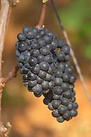 Bunches of ripe grapes. Pinot Noir. Pommard, Cote de Beaune, d'Or, Burgundy, France