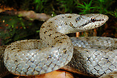 Smooth Snake (Coronella austriaca), Europe.