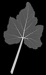 X-ray image of a yellow squash leaf (white on black) by Jim Wehtje, specialist in x-ray art and design images.