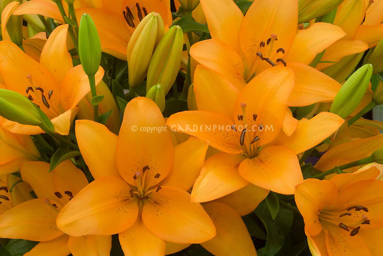 Lilium 'Advantage' (LA hybrid) lily