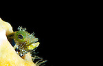 A secretary blenny (Acanthemblemaria maria) peering from it's tube, mouth open, St Vincent