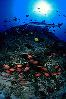 A reef scene with a school of shoulderbar soldierfish,   Myripristis kuntee, and a whitetip reef shark above,  Triaenodon obesus,   Hawaii.