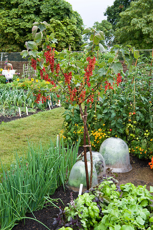 A standard redcurrant 'Rovada' frees up planting space at ground level for a short-term crop of herbs, salad leaves and chives. Growing Tastes Allotment Garden, RHS Hampton Court Flower Show 2009.