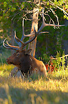 Elk at Rest, Norris Junction, Yellowstone National Park, Wyoming