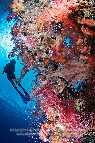 qe0764-D. scuba diver (model released) above healthy coral reef, on which multi-hued soft corals (Dendronephthya sp.), gorgonian sea fans (Melithaea sp.), and different species of anthias fish (Pseudanthias spp.) thrive. Fiji, tropical Pacific Ocean..Photo Copyright © Brandon Cole. All rights reserved worldwide.  www.brandoncole.com..This photo is NOT free. It is NOT in the public domain. This photo is a Copyrighted Work, registered with the US Copyright Office. .Rights to reproduction of photograph granted only upon payment in full of agreed upon licensing fee. Any use of this photo prior to such payment is an infringement of copyright and punishable by fines up to  $150,000 USD...Brandon Cole.MARINE PHOTOGRAPHY.http://www.brandoncole.com.email: brandoncole@msn.com.4917 N. Boeing Rd..Spokane Valley, WA  99206  USA.tel: 509-535-3489