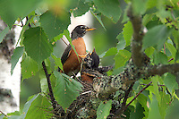 Robin and Chicks in Nest  #B21