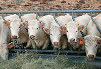 Charolais Cattle eating hay in feeding stalls