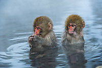 Snow monkeys or Japanese macaque, at Jigokudani Yaenkoen Park,
