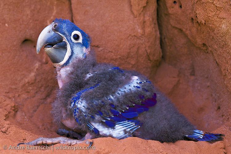 Hyacinth Macaw (Anodorhynchus hyacinthinus), 30-days-old nestling in a nesting cave high in a cliff, Chapada das Mangabeiras, southern Piauí State, NE Brazil.