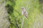 A great gray owl perches at the top of a tree in Grand Teton National Park, Wyoming.