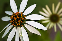 Echinacea purpurea 'Lucky Star' - Lucky Star echinacea..A white blooming variety of coneflower that shows more hardiness than 'White Swan'. .Ht: 36 inches.Width: 18 inches.Bloom Size: 3""