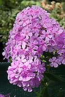 Phlox x arendsii 'Dougal', pink garden phlox hybrid