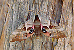 One-eyed sphinx moth on tree bark, Glacier National Park, Montana, USA
