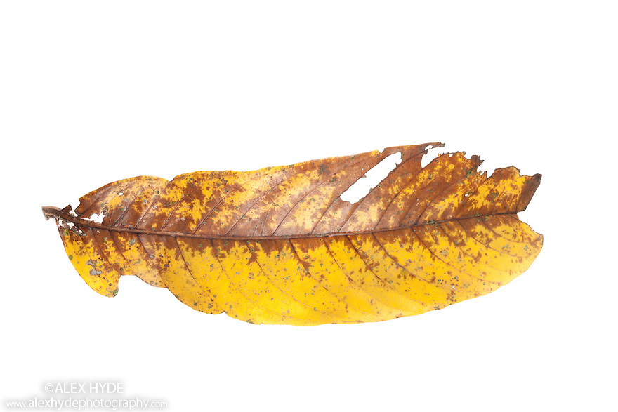 Dead leaves from rainforest floor, photographed on a white background in mobile field studio in tropical rainforest. Danum Valley, Sabah, Borneo, Malaysia.