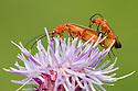 Pair of mating soldier beetles (Rhagonycha fulva), Peak District National Park, Derbyshire, UK. July.