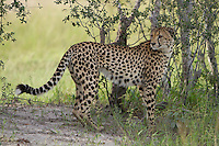 A profile view of a wild African cheetah, Botswana, Africa