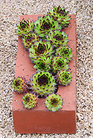 Sempervivum succulents planted in terracott brick as pot container garden