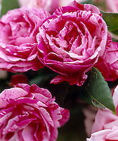 Detail of a variegated pink rose