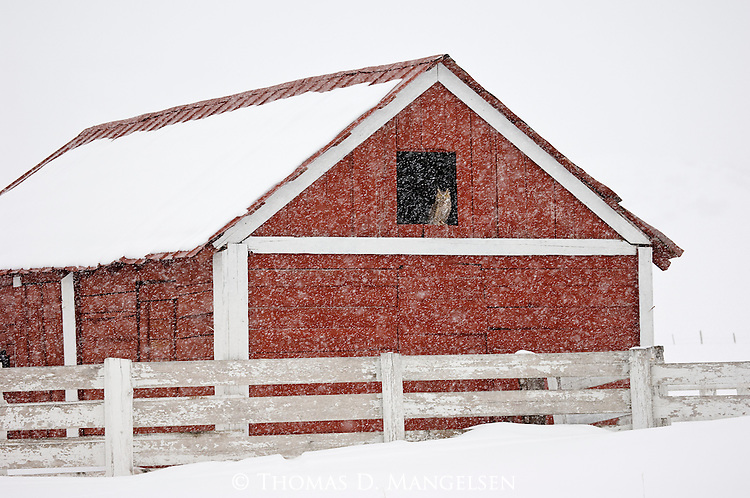 With winter storms as a prelude to its nesting season, a great-horned owl finds shelter in a barn on the Colorado plains.
