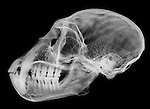 X-ray image of a closed vervet monkey skull and jaw (white on black) by Jim Wehtje, specialist in x-ray art and design images.