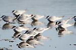 Whiskered Tern, Chlidonias hybridus, Lesvos Island, Greece, Kalloni Salt Pans, group resting in water , lesbos