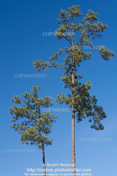 Two loblolly pine trees against a clear blue sky scott Pine tree timber