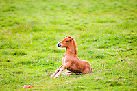 Very young Icelandic foal trying to stand up