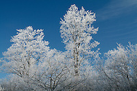 Treetops with Hoar Frost against Clear Blue Sky