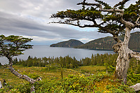 Old, weathered spruce tree on Ingot Island, Prince William Sound, Alaska.