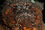 Stonefish, Synanceia verrucosa, close up showing face, camouflaged, poisonous, lies in wait for prey, coral reefs,....