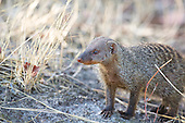 A babysitter looking out for danger and the return of the early morning foraging party. Banded Mongoose have a high degree of complex social structures.
