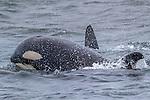 USA, Alaska , Glacier Bay National Park , orca (Orcinus orca)