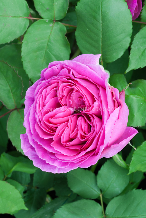 roses Rosa 'Madame Isaac Perriere', pink