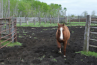 A Percheron horse is seen on a farm in Saint-Laurent, Manitoba Monday May 23, 2011. The Percheron is a breed of draft horses that originated in the Perche valley in northern France.