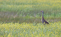 A sandhill crane stands in a spring meadow at Camas National Wildlife Refuge.