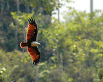 A Brahminy kite swoops low for a drink and a fishing expedition at the Tebo triple spring site.