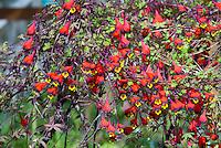 Tropaeolum tricolor, annual climbing vine, Bolivian Nasturtium, in red, purple black and yellow flowers